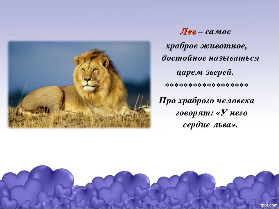 Лев – самое храброе животное, достойное называться царем зверей. ************...