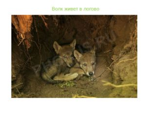 Волк живет в логово