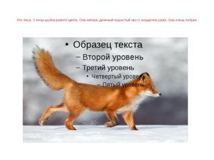 Это лиса. У лисы шубка рыжего цвета. Она мягкая, длинный пушистый хвост, мор