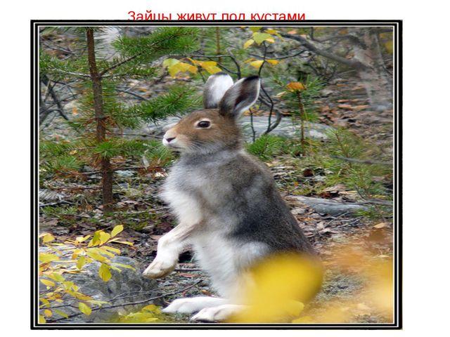 Зайцы живут под кустами
