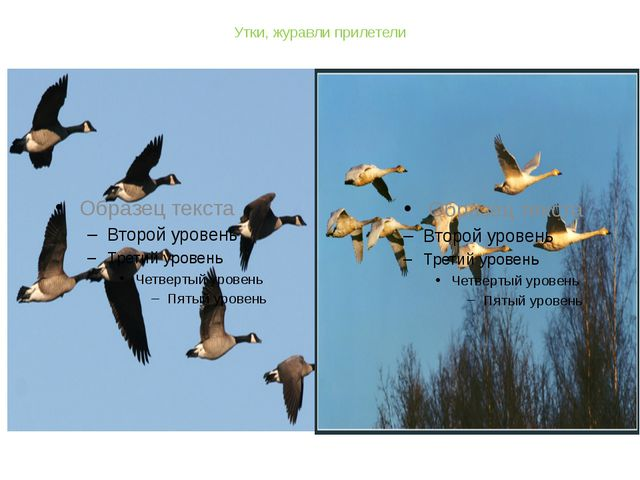 Утки, журавли прилетели журавли