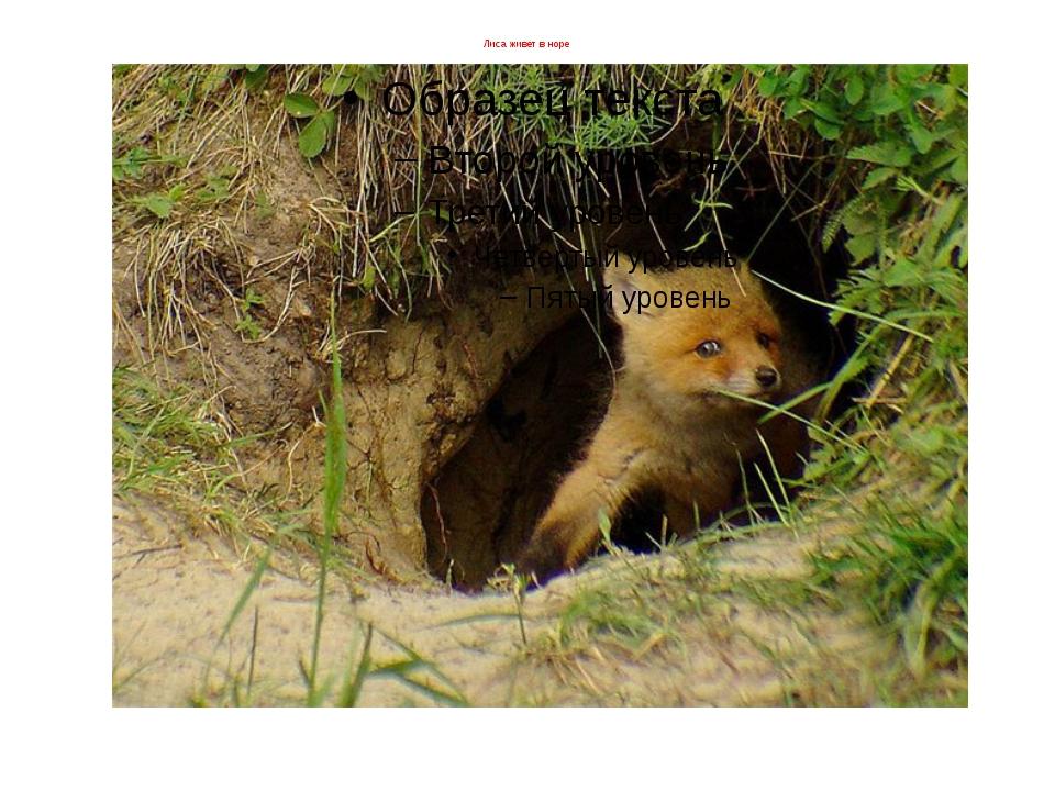 Лиса живет в норе