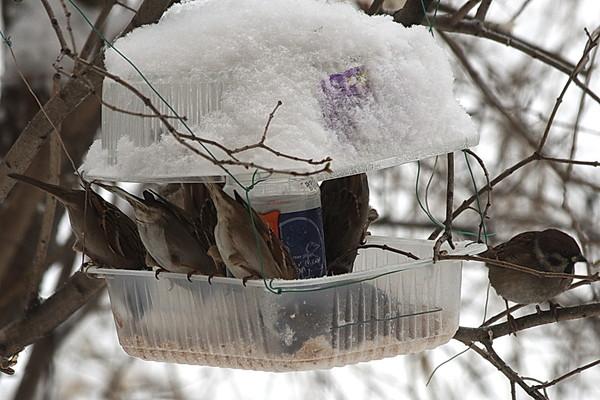 F:\птицы парк\воробьи.jpg