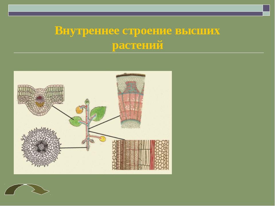 Внутреннее строение высших растений