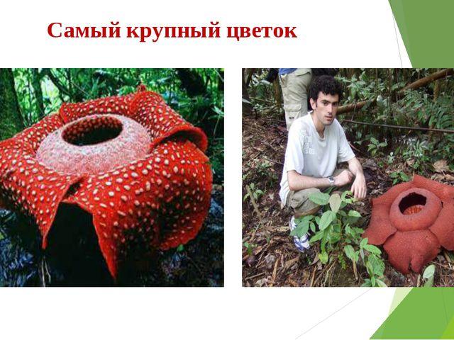 Самый крупный цветок