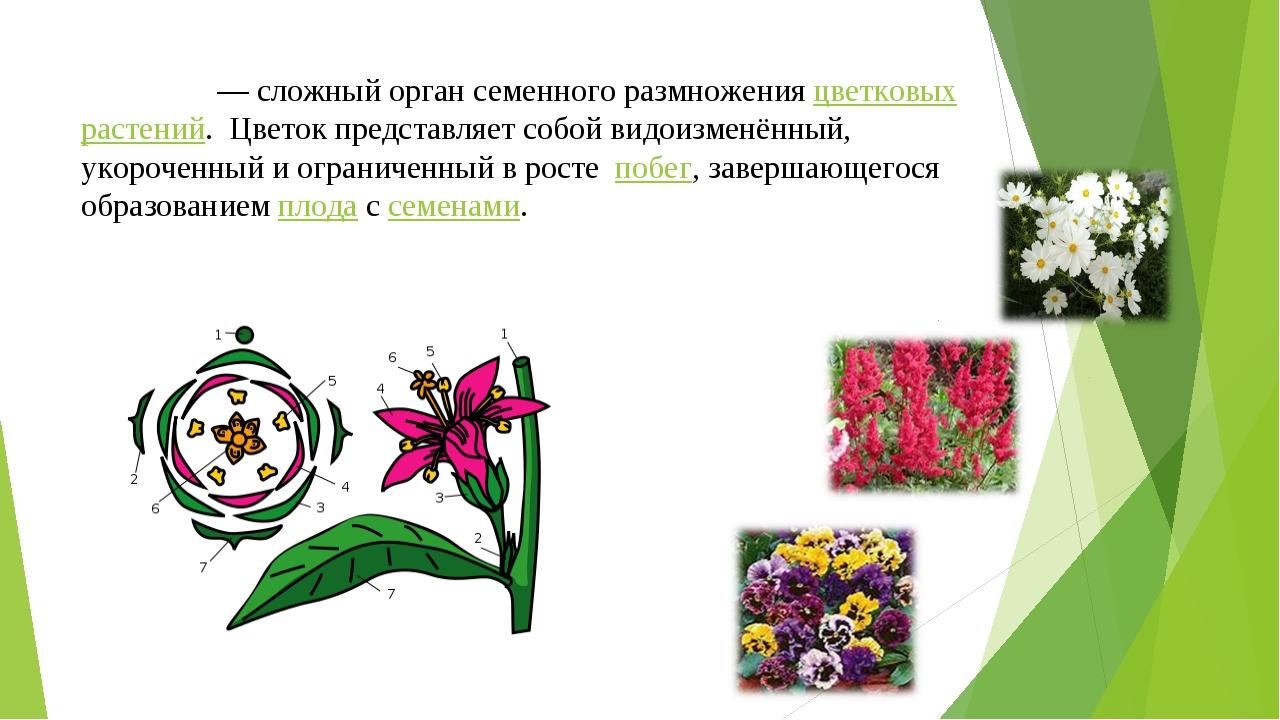 Цвето́к — сложный орган семенного размножения цветковых растений. Цветок пре...