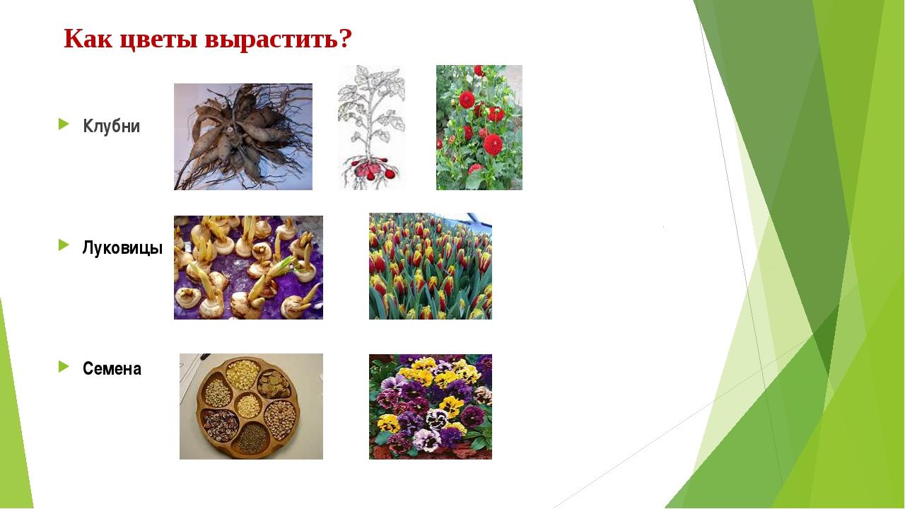 Как цветы вырастить? Клубни Луковицы Семена