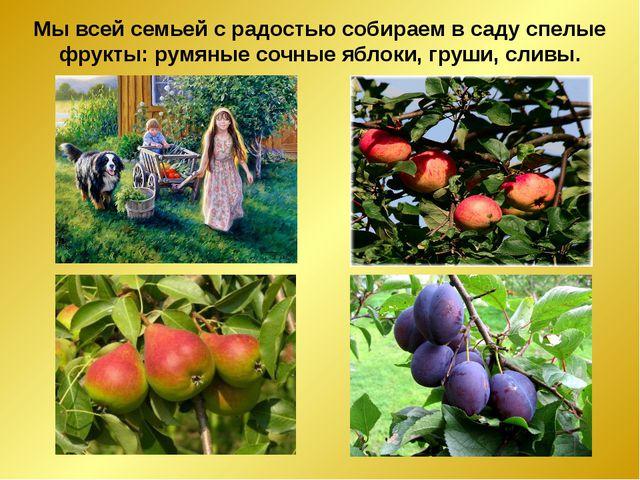 Мы всей семьей с радостью собираем в саду спелые фрукты: румяные сочные яблок...