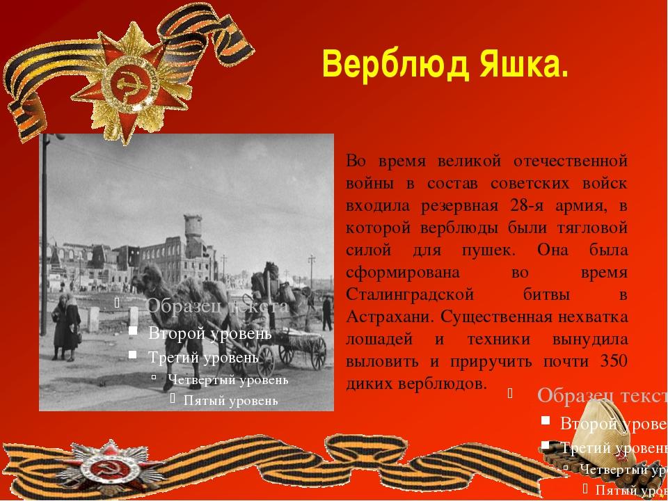 Верблюд Яшка. Во время великой отечественной войны в состав советских войск в...