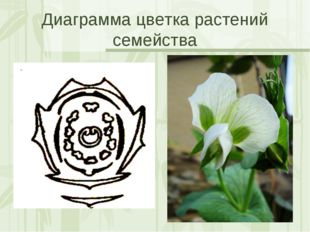 Диаграмма цветка растений семейства Яковлева Л.А.
