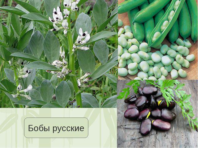 Бобы русские Яковлева Л.А.