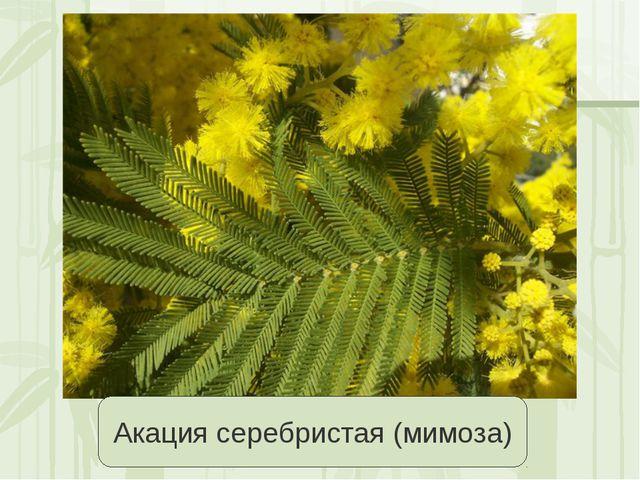 Акация серебристая (мимоза) Яковлева Л.А.