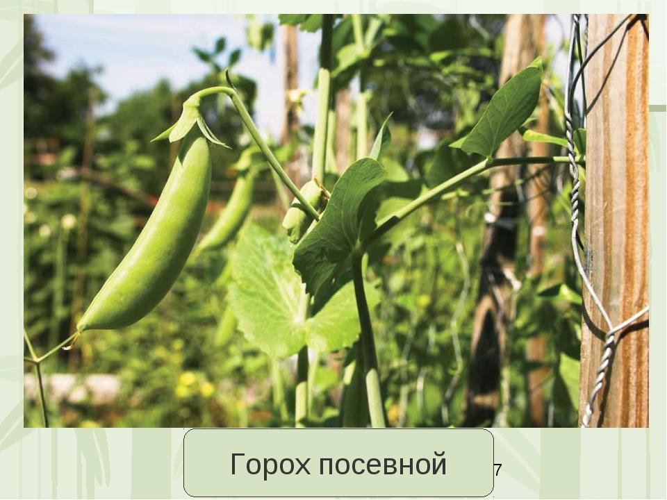 Горох посевной Яковлева Л.А.