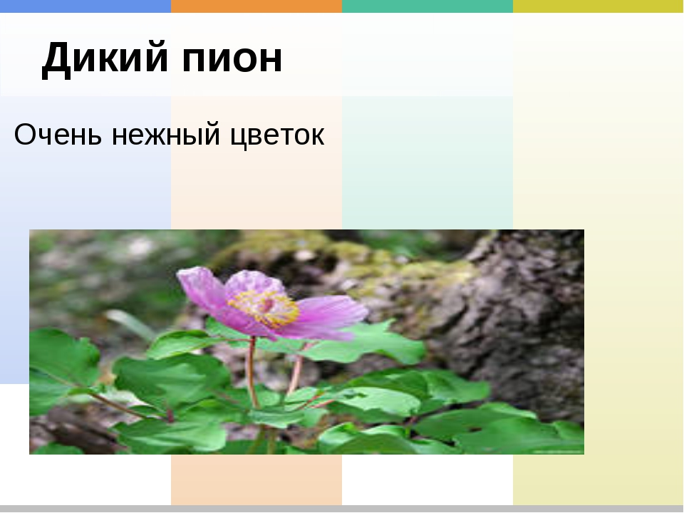 Дикий пион Очень нежный цветок