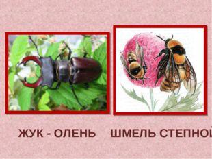 ЖУК - ОЛЕНЬ ШМЕЛЬ СТЕПНОЙ