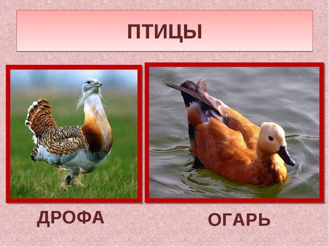 ПТИЦЫ ДРОФА ОГАРЬ