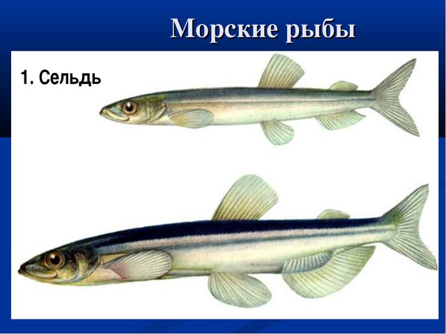 Морские рыбы Рыба-меч Рыба-молот Ставрида 1. Сельдь