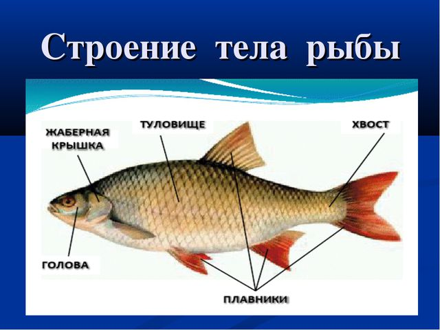 Строение тела рыбы голова хвост туловище плавники
