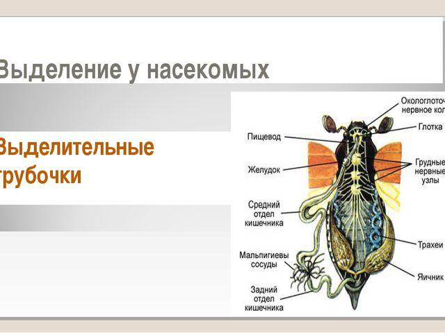 Выделение у насекомых Выделительные трубочки