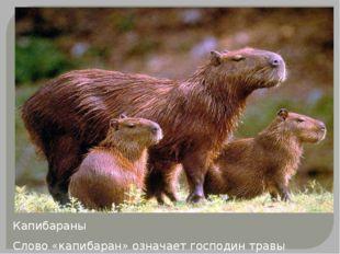 Капибараны Слово «капибаран» означает господин травы