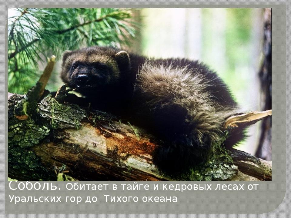 Соболь. Обитает в тайге и кедровых лесах от Уральских гор до Тихого океана