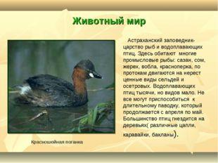 Животный мир Астраханский заповедник- царство рыб и водоплавающих птиц. Здесь