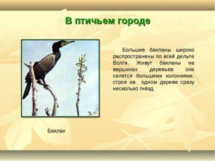 В птичьем городе Большие бакланы широко распространены по всей дельте Волги.