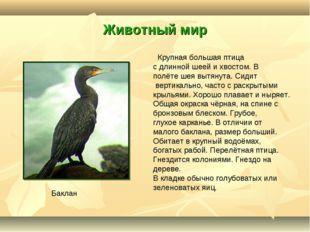 Животный мир Крупная большая птица с длинной шеей и хвостом. В полёте шея выт