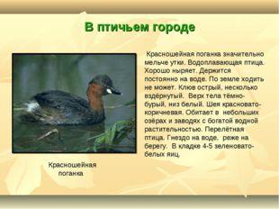 В птичьем городе Красношейная поганка Красношейная поганка значительно мельче