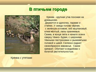 В птичьем городе Кряква с утятами Кряква - крупная утка похожая на домашнюю.