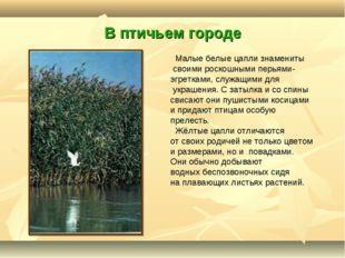 В птичьем городе Малые белые цапли знамениты своими роскошными перьями- эгрет