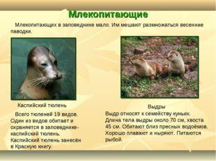 Млекопитающие Каспийский тюлень Выдры Всего тюленей 19 видов. Один из видов о