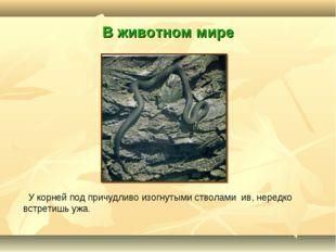 В животном мире У корней под причудливо изогнутыми стволами ив, нередко встре