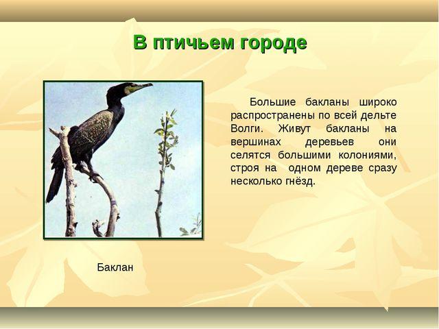 В птичьем городе Большие бакланы широко распространены по всей дельте Волги....