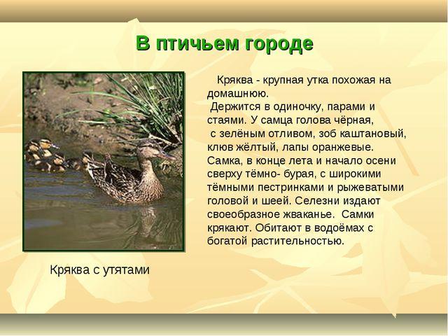 В птичьем городе Кряква с утятами Кряква - крупная утка похожая на домашнюю....