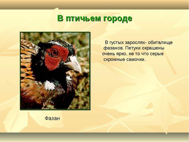 В птичьем городе В густых зарослях- обиталище фазанов. Петухи окрашены очень...