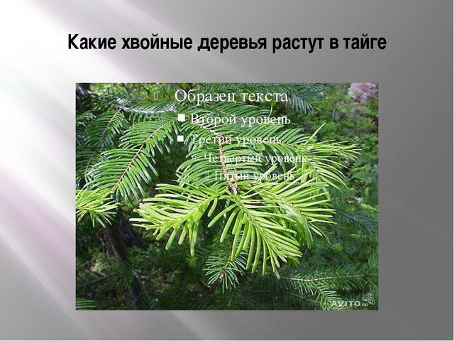 Какие хвойные деревья растут в тайге