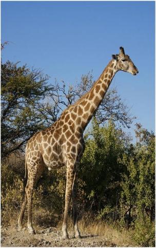 What Eats Giraffes