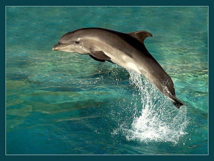 Афалина - Дельфиновые (Delphinidae) - Все о дельфинах