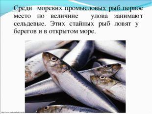 Среди морских промысловых рыб первое место по величине улова занимают сельде