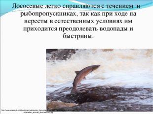 Лососевые легко справляются с течением и рыбопропускниках, так как при ходе н