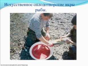 Искусственное оплодотворение икры рыбы. http://amurrybvod.ru/photogallery/fis
