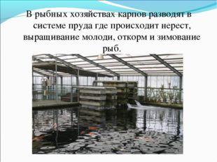 В рыбных хозяйствах карпов разводят в системе пруда где происходит нерест, вы