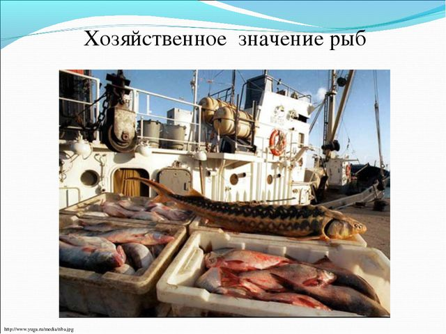 Хозяйственное значение рыб http://www.yuga.ru/media/riba.jpg