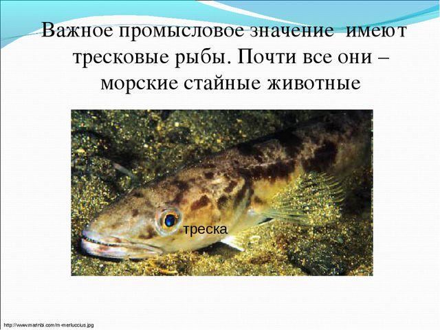 Важное промысловое значение имеют тресковые рыбы. Почти все они – морские ста...