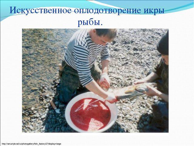 Искусственное оплодотворение икры рыбы. http://amurrybvod.ru/photogallery/fis...