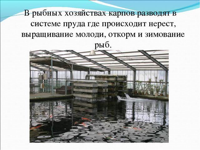 В рыбных хозяйствах карпов разводят в системе пруда где происходит нерест, вы...
