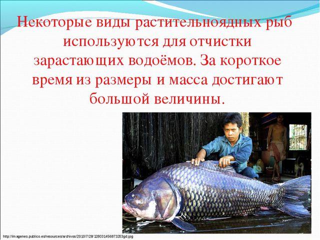Некоторые виды растительноядных рыб используются для отчистки зарастающих во...