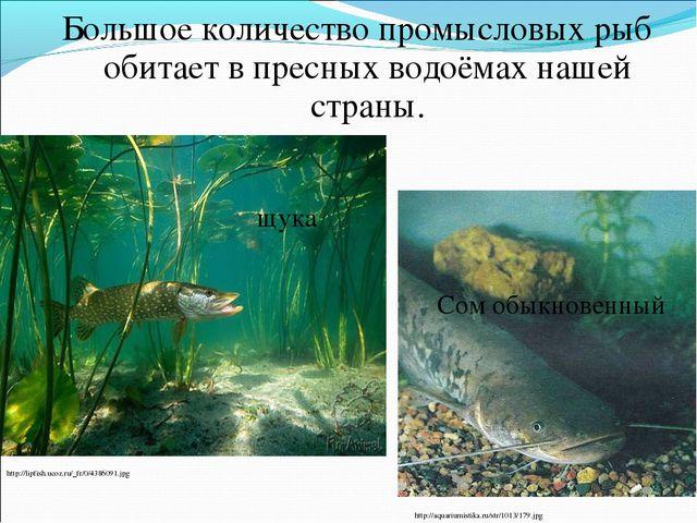 Большое количество промысловых рыб обитает в пресных водоёмах нашей страны. h...