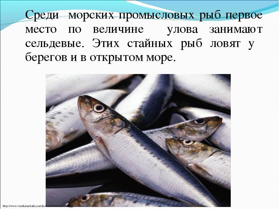 Среди морских промысловых рыб первое место по величине улова занимают сельде...